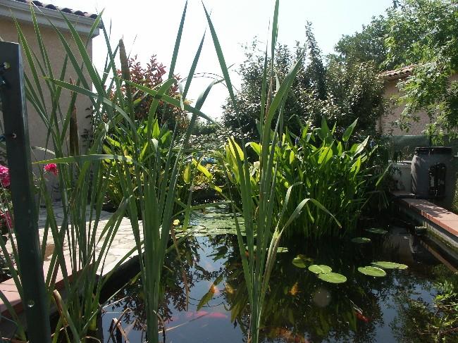 Bienvenue chez les Koïs...mon bassin Pict0211