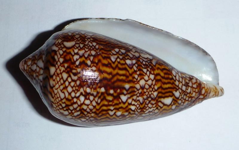 Conus (Cylinder) textile   Linnaeus, 1758 - Page 6 00610