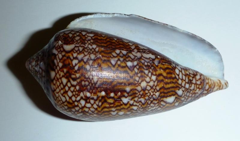 Conus (Cylinder) textile   Linnaeus, 1758 - Page 6 02510