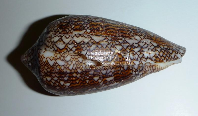 Conus (Cylinder) textile   Linnaeus, 1758 - Page 6 02610