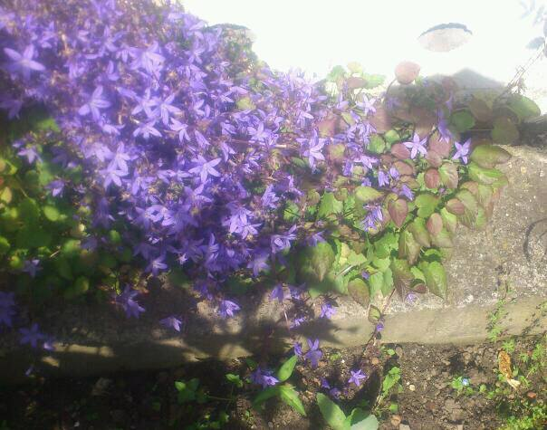 Hang- und Steingartenpflanzen Blaues10