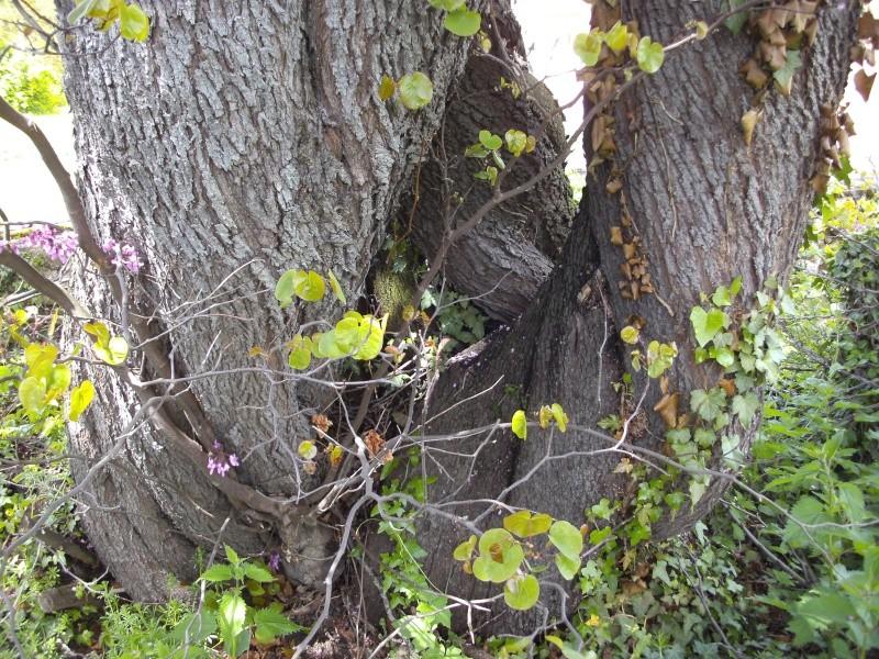 Pourquoi l'arbre de Judée s'appelle-t-il ainsi? - Page 2 Pict2116