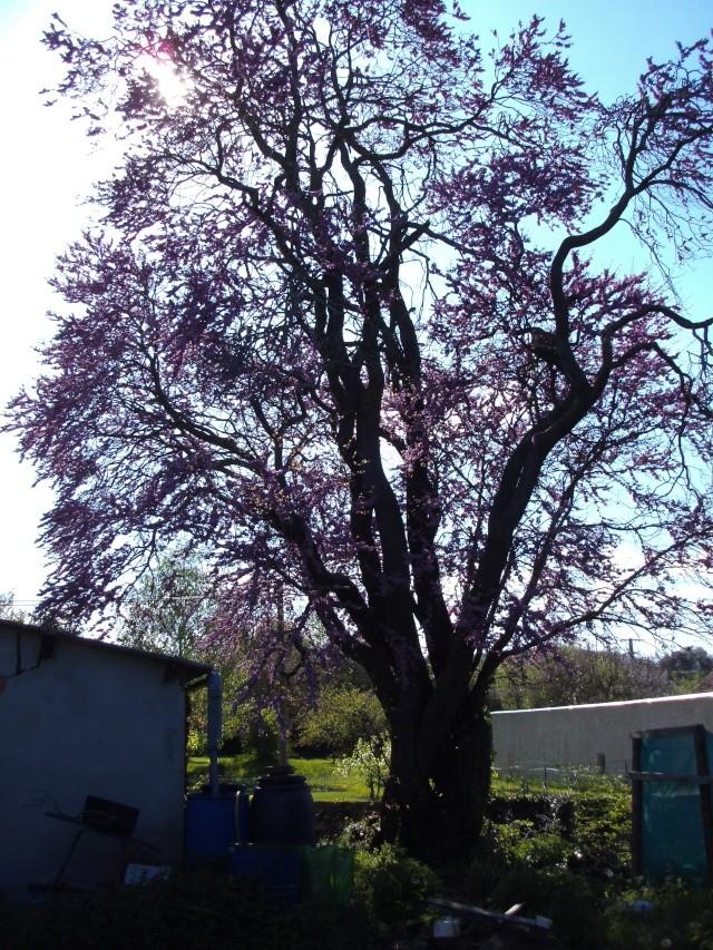 Pourquoi l'arbre de Judée s'appelle-t-il ainsi? - Page 2 Ter_112