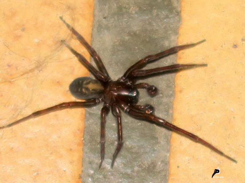 L'araignée, une espèce à protéger ! Amauro10
