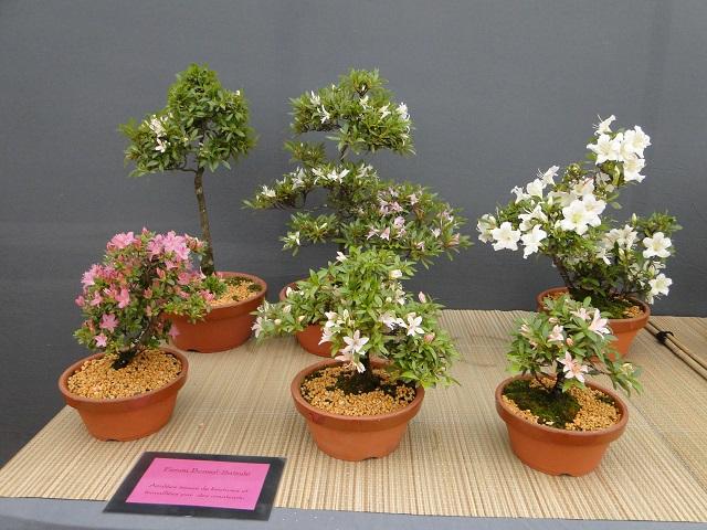 re:satsuki flower trophy 2013  00511