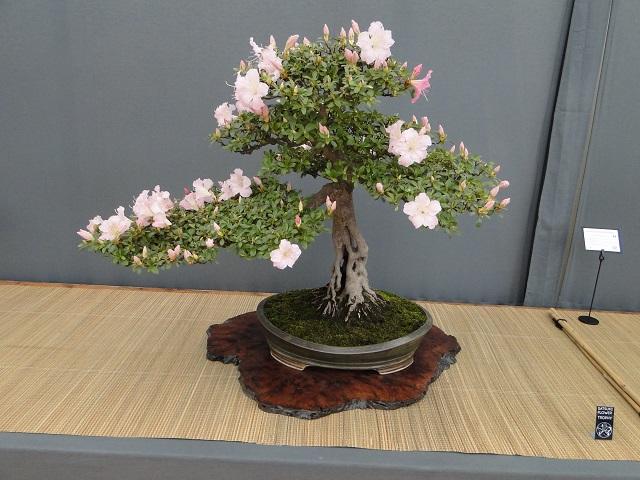 re:satsuki flower trophy 2013  02510