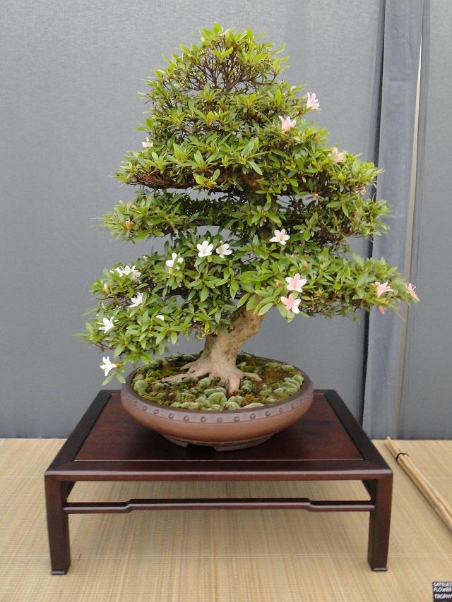 re:satsuki flower trophy 2013  03310
