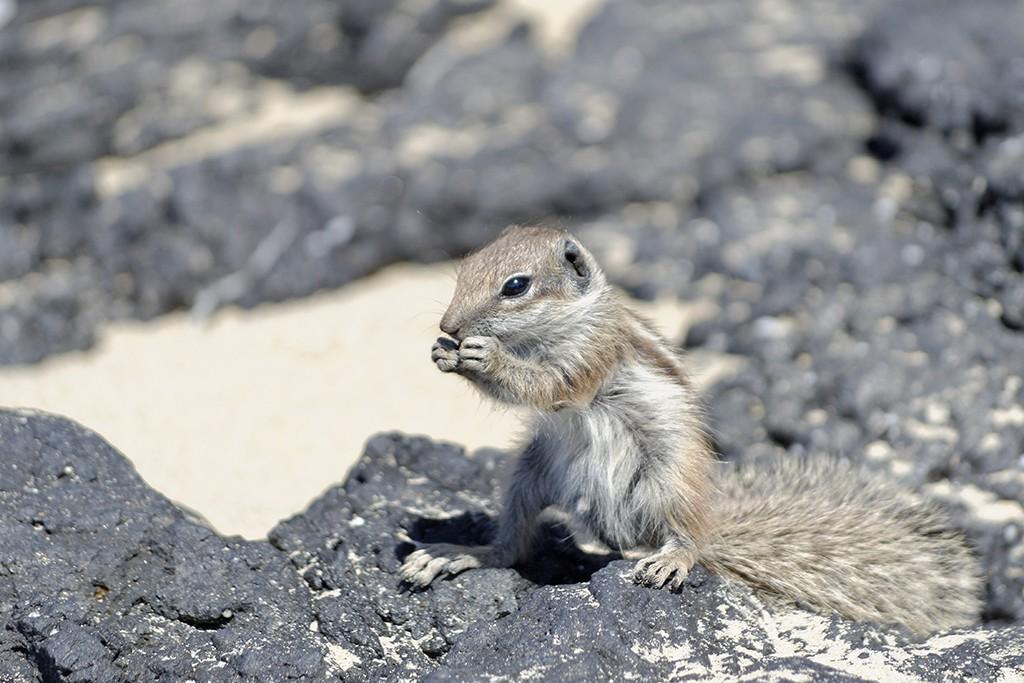 Ecureuils à Fuerteventura Acureu10