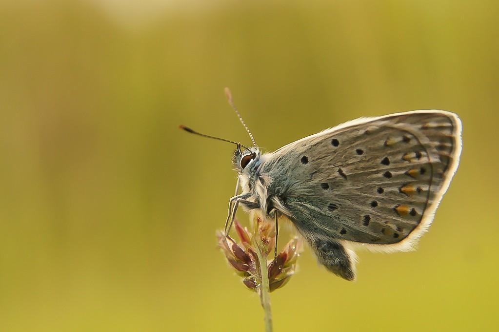 Papillon du jour... toujours, toujours....  Dsc02710