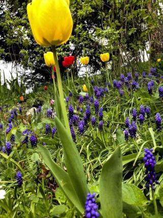 Créations de philou73 - Page 3 Tulipe11