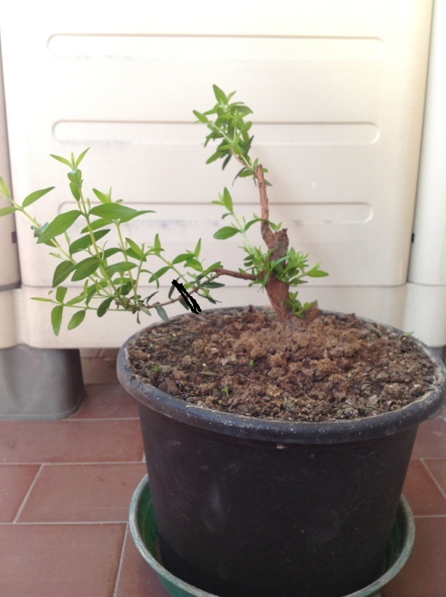 da mirto da vivaio a futuro bonsai - Pagina 2 Foto_i32