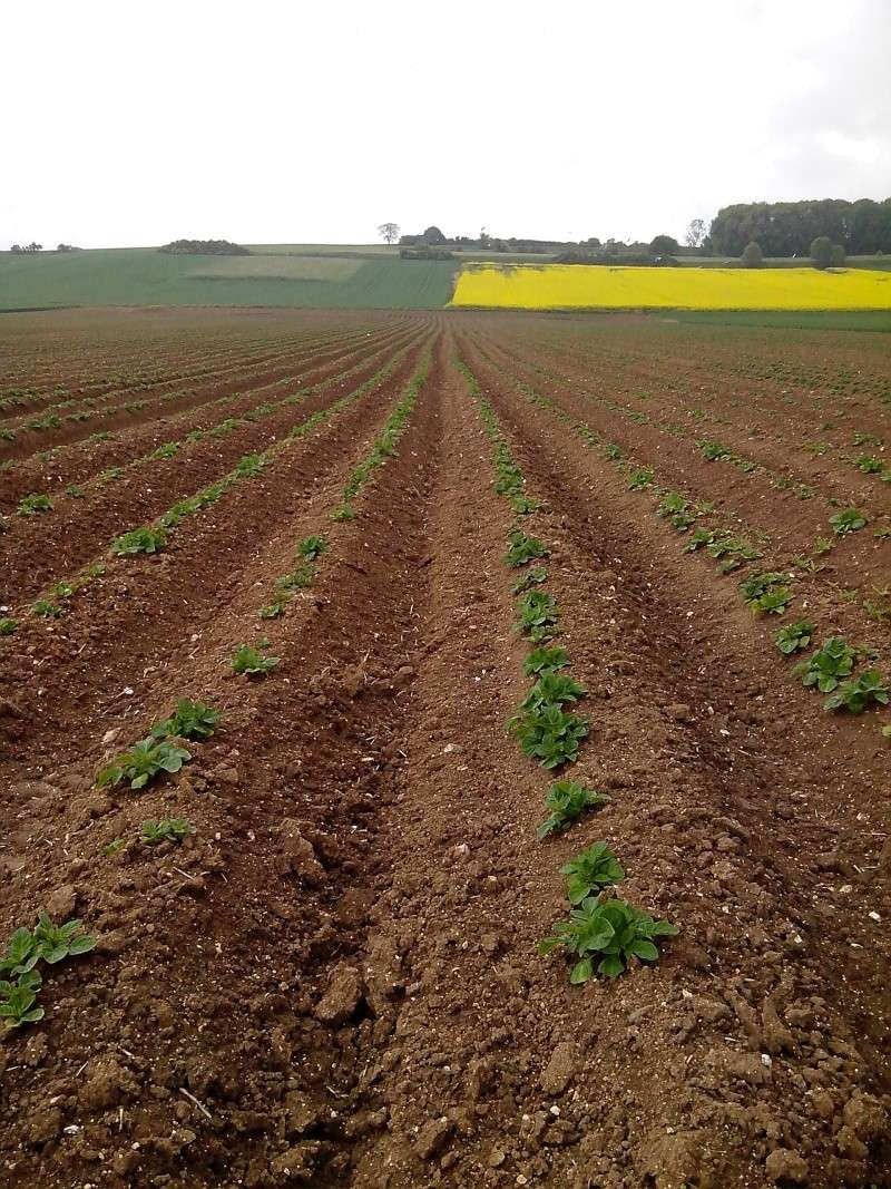 Evolution des cultures de pommes de terre 2013 211