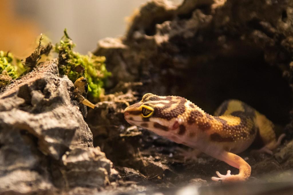 Mon gecko léopard - Page 3 Gzocko10