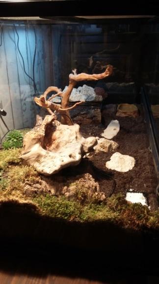 Mon gecko léopard Terra10