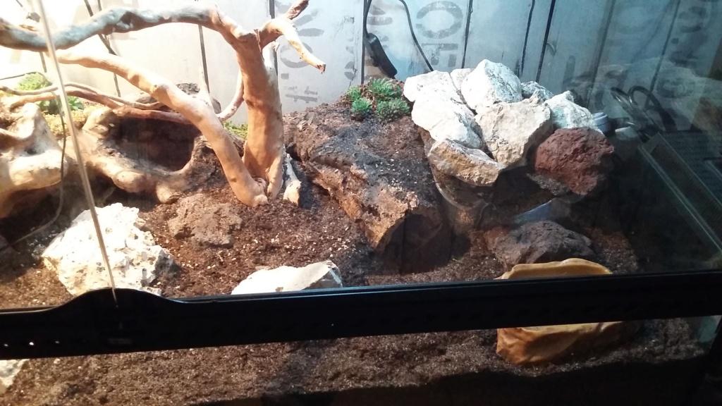 Mon gecko léopard Terra_10