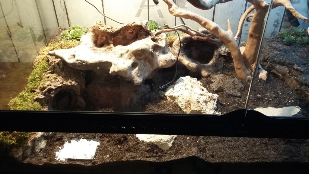 Mon gecko léopard Terra_11