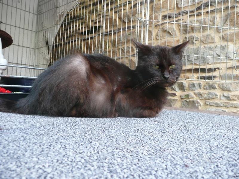 MINUIT - Mâle - Européen noir - 01/05/2012 - Puce n° 250269604880113 - FIV +  P1110114
