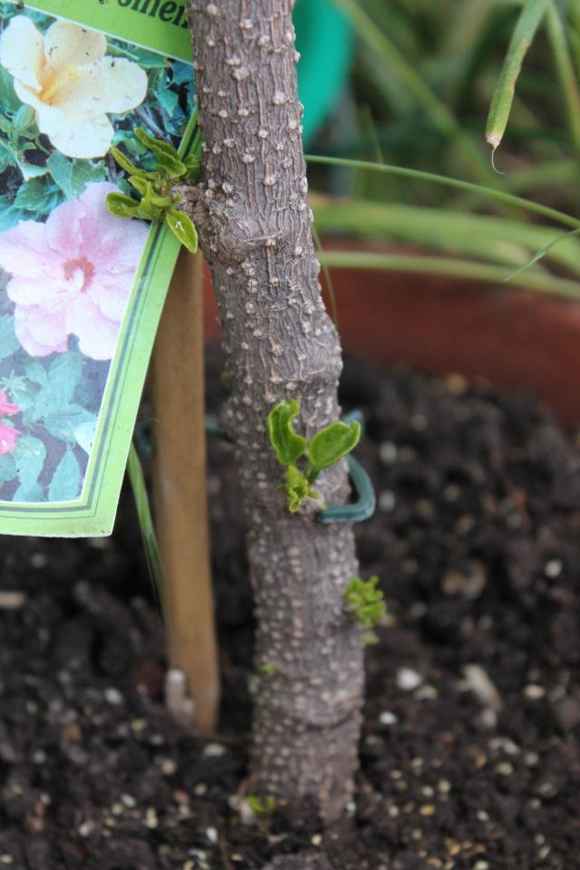 Que faire avec cet hibiscus? 11-06-40