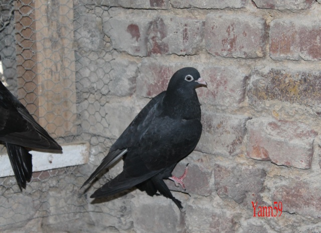 Mes pigeons 26-05-10