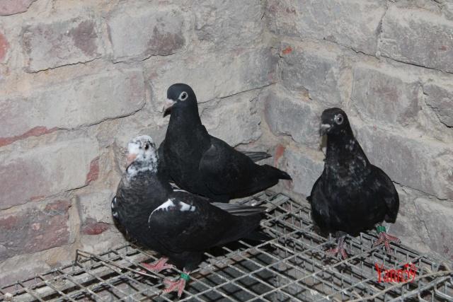Mes pigeons 26-05-11