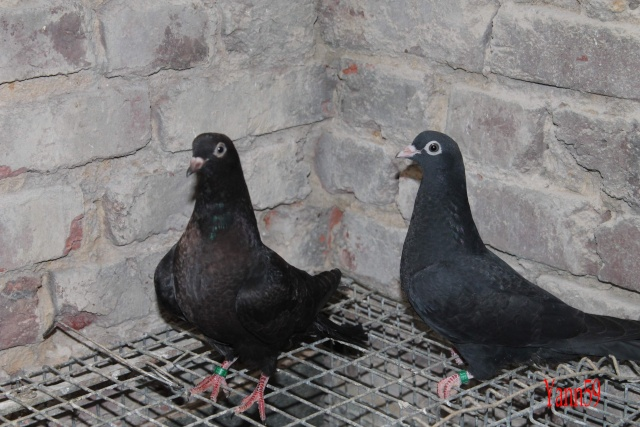 Mes pigeons 26-05-12