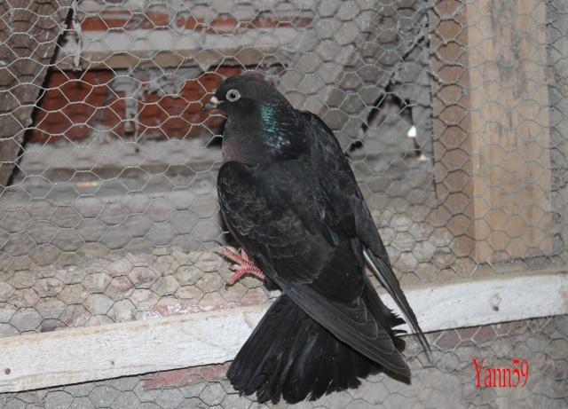 Mes pigeons 26-05-13