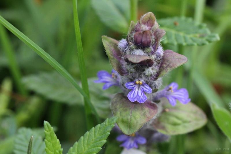 Wildblumen ( Sammelthread) Gerend18