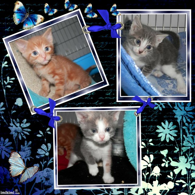 Portée de 3 chatons type européens non LOOF (27) - Handi'cats Chaton10