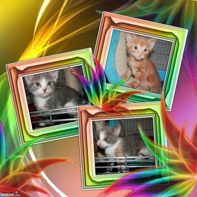 Portée de 3 chatons type européens non LOOF (27) - Handi'cats Chaton11