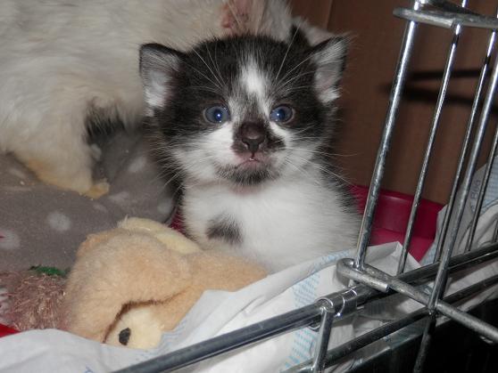 5 Chatons adorables à l'adoption (27) P5120512
