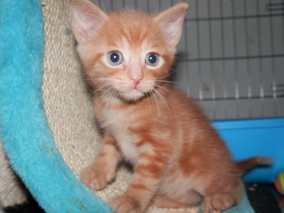 Portée de 3 chatons type européens non LOOF (27) - Handi'cats P6081110