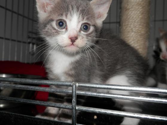 Portée de 3 chatons type européens non LOOF (27) - Handi'cats P6081111
