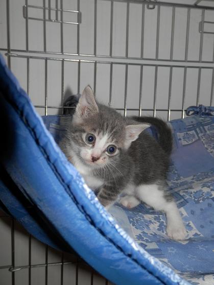 Portée de 3 chatons type européens non LOOF (27) - Handi'cats P6081112