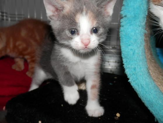 Portée de 3 chatons type européens non LOOF (27) - Handi'cats P6081113