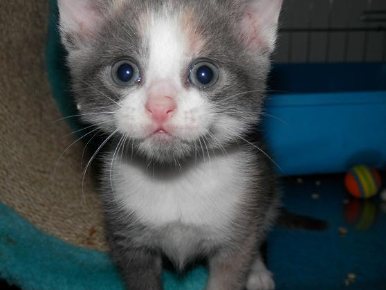 Portée de 3 chatons type européens non LOOF (27) - Handi'cats P6081114