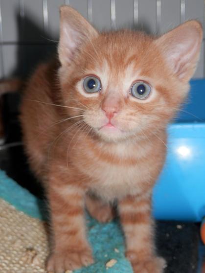 Portée de 3 chatons type européens non LOOF (27) - Handi'cats P6081210
