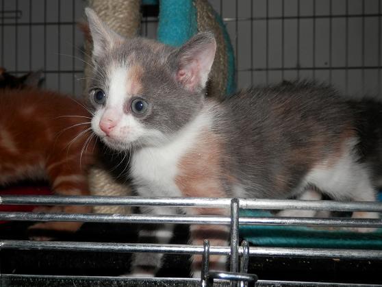 Portée de 3 chatons type européens non LOOF (27) - Handi'cats P6081211