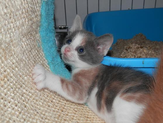 Portée de 3 chatons type européens non LOOF (27) - Handi'cats P6081212