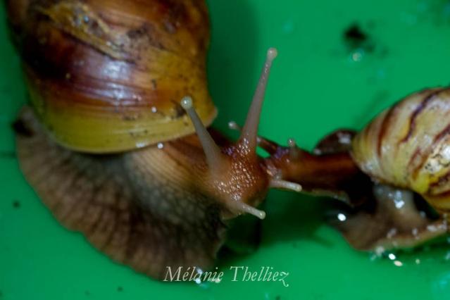 Achatina Fulica adultes et bébés 2013_041