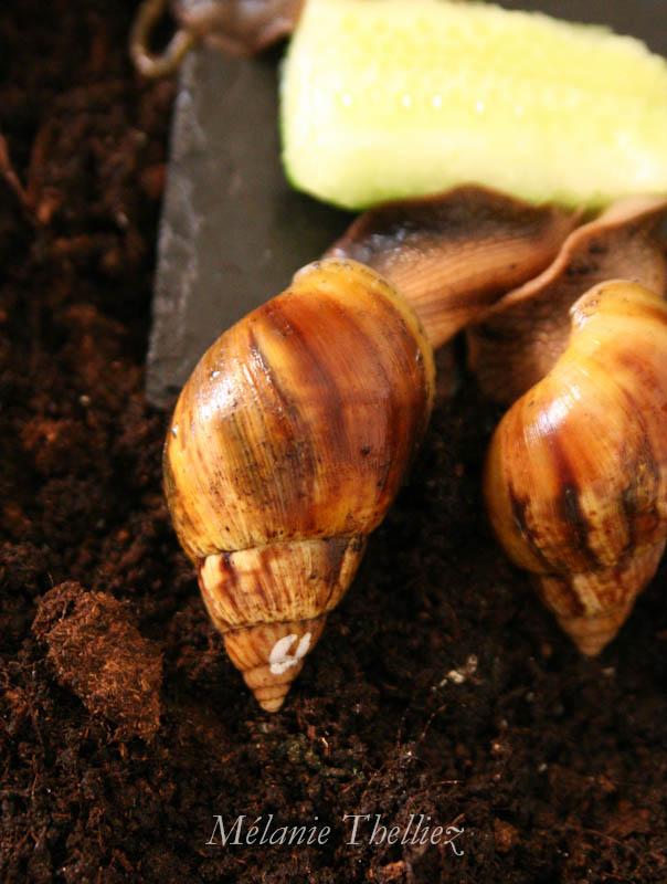 Achatina Fulica adultes et bébés 2013_069