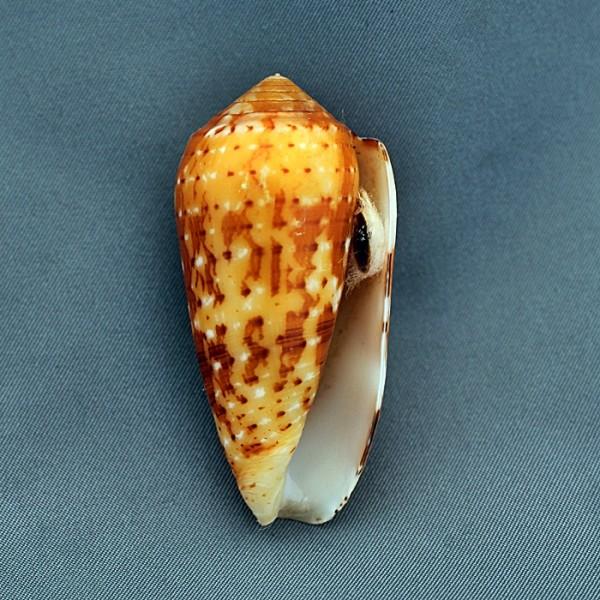 Conus (Pionoconus) magdalenae  Kiener, 1845 voir Conus (P.) floccatus - Page 2 1290-512