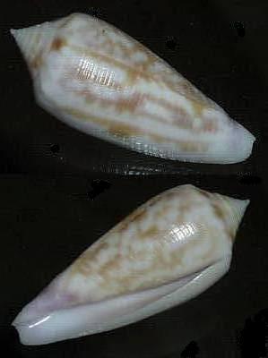 Conus (Phasmoconus) oishii - Shikama, 1977 48d3_110