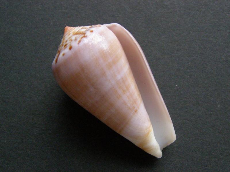 Conus (Pionoconus) fulmen kirai   Kuroda, 1956 P4189312