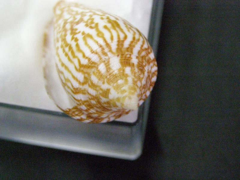 Conus (Phasmoconus) armadillo  Shikama, 1971 P5309916
