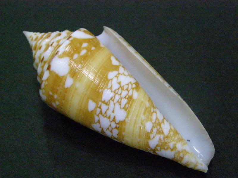 Conus (Leptoconus) castaneofasciatus arbornatalis  da Motta, 1978 P6040013