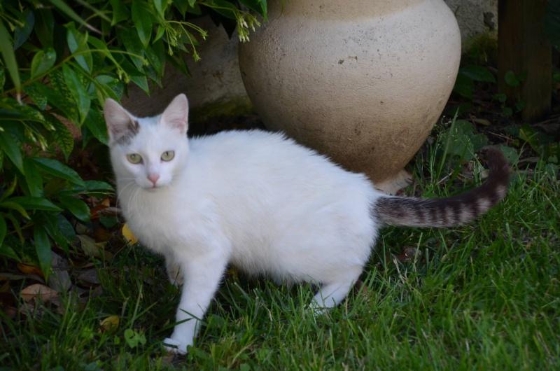 Trouvée chatte blanche et tigrée dans la forêt de Bouconne 10152510