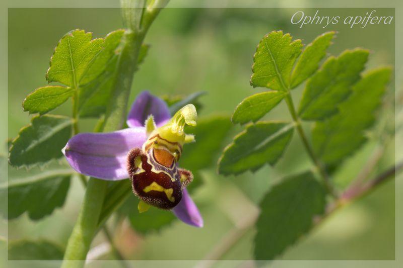 Ophrys apifera (Ophrys abeille ) Apifer11