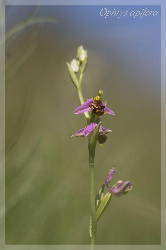 Ophrys apifera (Ophrys abeille ) Apifer12