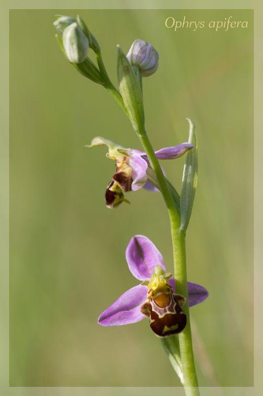 Ophrys apifera (Ophrys abeille ) Apifer13
