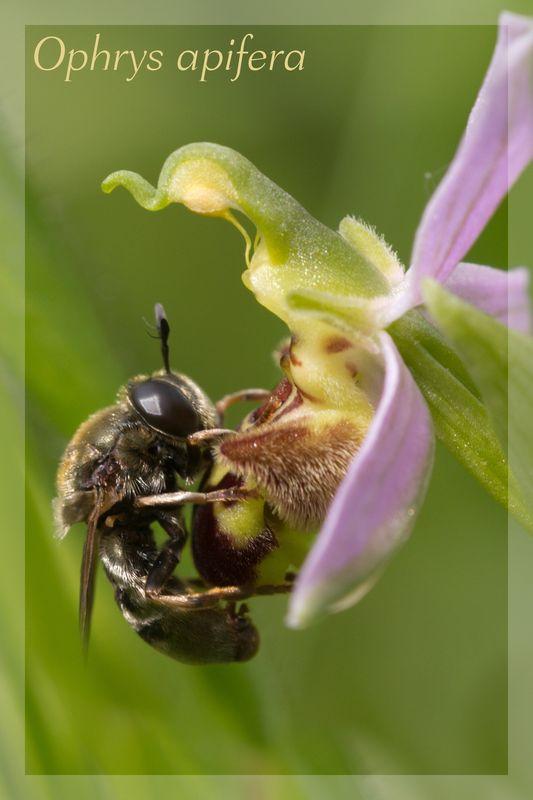 Ophrys apifera (Ophrys abeille ) Apifer14